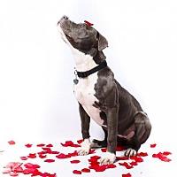 Adopt A Pet :: Lula - Little Rock, AR