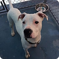 Boxer/Pit Bull Terrier Mix Dog for adoption in San Francisco, California - Sebastian