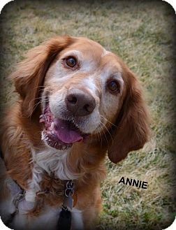 Brittany/Golden Retriever Mix Dog for adoption in Independence, Missouri - Annie