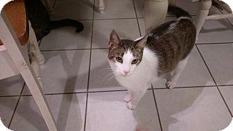 Domestic Shorthair Cat for adoption in Columbus, Ohio - Miata