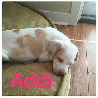 Hound (Unknown Type)/Labrador Retriever Mix Puppy for adoption in fort wayne, Indiana - Addi
