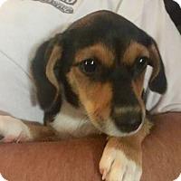 Adopt A Pet :: Daisy - McKinney, TX