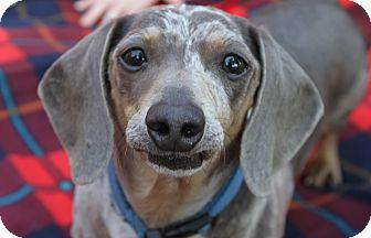 Dachshund Dog for adoption in Prole, Iowa - Sloan