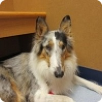 Collie Dog for adoption in Dublin, Ohio - LIBBY