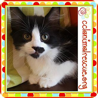 Domestic Mediumhair Kitten for adoption in Panama City, Florida - Dorothy