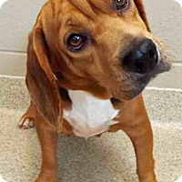 Beagle Mix Dog for adoption in Shorewood, Illinois - ADOPTED!!!   Lucy