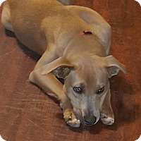 Hound (Unknown Type)/Labrador Retriever Mix Dog for adoption in Warrenton, Missouri - Buddy