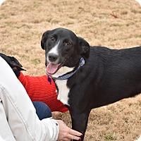 Labrador Retriever/Border Collie Mix Dog for adoption in Brattleboro, Vermont - Buddy