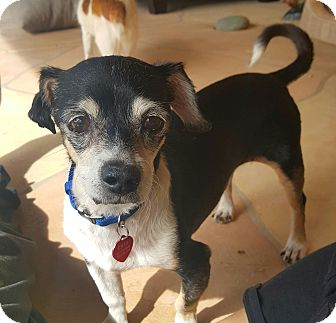 Rat Terrier/Dachshund Mix Dog for adoption in New River, Arizona - Bandit