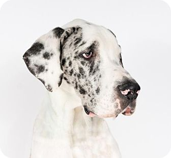 Great Dane Puppy for adoption in St. Louis Park, Minnesota - Bram