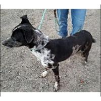 Catahoula Leopard Dog Mix Puppy for adoption in Elk Grove, California - CHAYTON