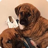 Adopt A Pet :: Genny - Shaw AFB, SC