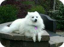 American Eskimo Dog Dog for adoption in Elmhurst, Illinois - Samson