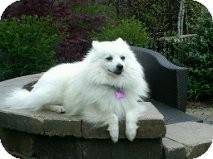 American Eskimo Dog Dog for adoption in Elmhurst, Illinois - Samson
