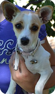 Chihuahua/Dachshund Mix Dog for adoption in Simi Valley, California - London