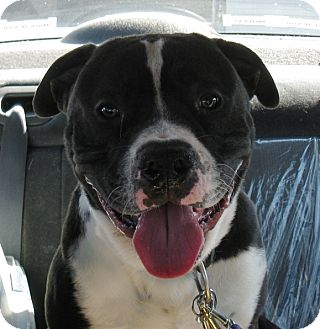 American Pit Bull Terrier Mix Dog for adoption in San Diego, California - Chip  NEW PIC! URGENT