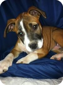 Boxer Mix Puppy for adoption in Phoenix, Arizona - Louise