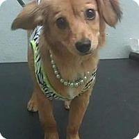Adopt A Pet :: Lucy - South Gate, CA