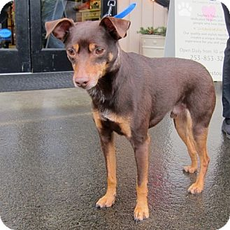 Pictures Of Miniature Pinscher Fox Terrier Mix Kidskunst Info