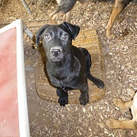 Labrador Retriever/German Shepherd Dog Mix Puppy for adoption in Katy, Texas - Bea