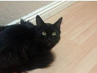 Domestic Shorthair Cat for adoption in San Jose, California - GAP-Fuzz