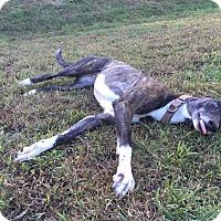 Adopt A Pet :: Tasha - Swanzey, NH