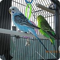 Adopt A Pet :: Francis & Clare - East Hartland, CT