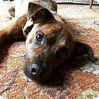 Adopt A Pet :: Chance - Manhasset, NY