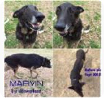German Shepherd Dog Dog for adoption in Fort Worth, Texas - Marvin