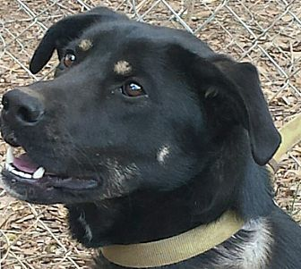 German Shepherd Dog/Labrador Retriever Mix Dog for adoption in Gaffney, South Carolina - Sadie- German Shep- Lab mix