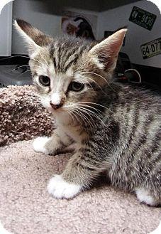 Domestic Shorthair Kitten for adoption in Devon, Pennsylvania - LM-Cooper COURTESY LISTING