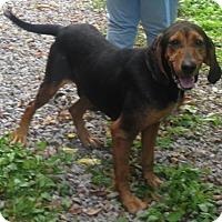 Black and Tan Coonhound Dog for adoption in Elkins, West Virginia - Eli