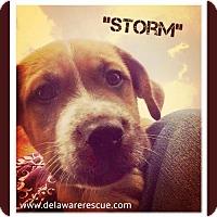 Adopt A Pet :: Storm - Seaford, DE