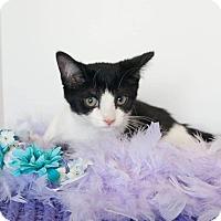 Domestic Shorthair Kitten for adoption in Muskegon, Michigan - Panda