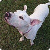 Pit Bull Terrier Mix Dog for adoption in Weatherford, Texas - Andi