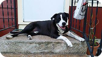 Pointer Mix Dog for adoption in Manhattan, Kansas - Carlos- adoption pending