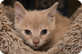 Domestic Shorthair Kitten for adoption in San Juan Capistrano, California - Charger
