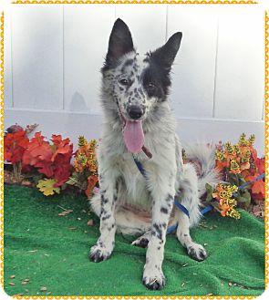 Border Collie/Australian Shepherd Mix Puppy for adoption in Marietta, Georgia - LAYLA (R)
