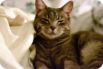 Domestic Shorthair Kitten for adoption in West Palm Beach, Florida - Suri