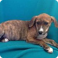 Shepherd (Unknown Type) Mix Puppy for adoption in Patterson, New York - Wendy