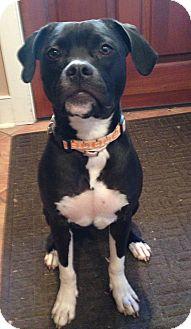 Boxer/Terrier (Unknown Type, Medium) Mix Dog for adoption in Media, Pennsylvania - KINO