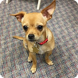Chihuahua/Terrier (Unknown Type, Small) Mix Puppy for adoption in Verona, New Jersey - Zane: Adoption Pending