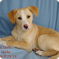 Adopt A Pet :: Clark 1 meet me 1/6 - Manchester, CT