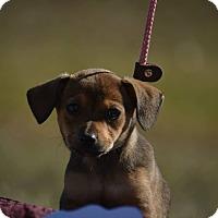 Adopt A Pet :: Lyla - Houston, TX
