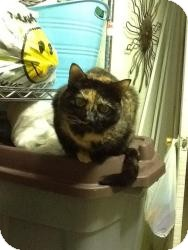 Calico Cat for adoption in bloomfield, New Jersey - Tonka