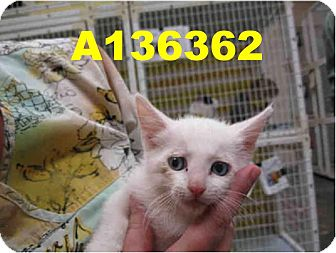 Domestic Mediumhair Kitten for adoption in Scottsdale, Arizona - Atlas- courtesy post