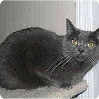 Russian Blue Cat for adoption in Clarksville, Indiana - Nikki