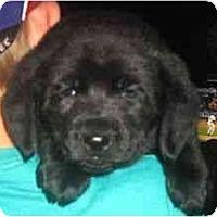 Adopt A Pet :: Dill - Novi, MI