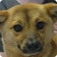 Adopt A Pet :: Bullet - Mahopac, NY