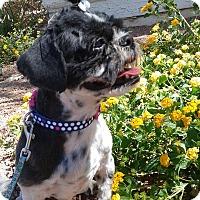 Adopt A Pet :: Bibbers - Las Vegas, NV